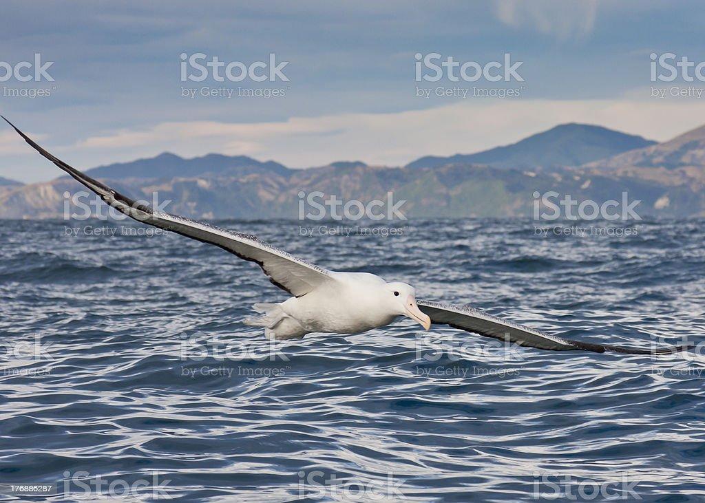 Gibson's Wandering Albatross In Flight stock photo