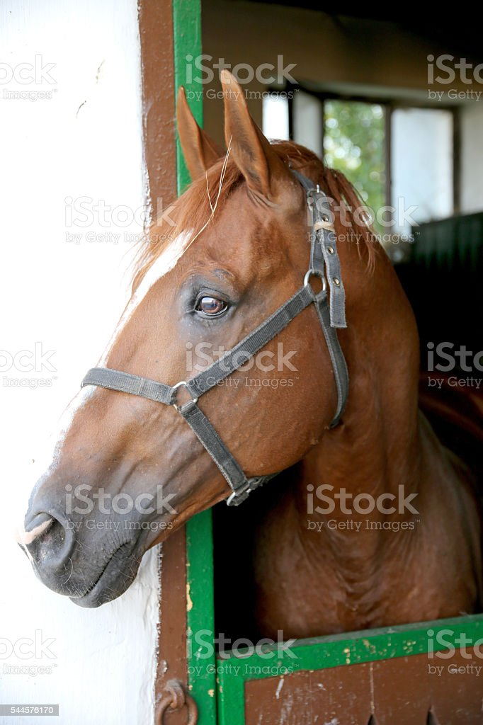 Gidran breed  horse head profile portrait with an alert expressi stock photo