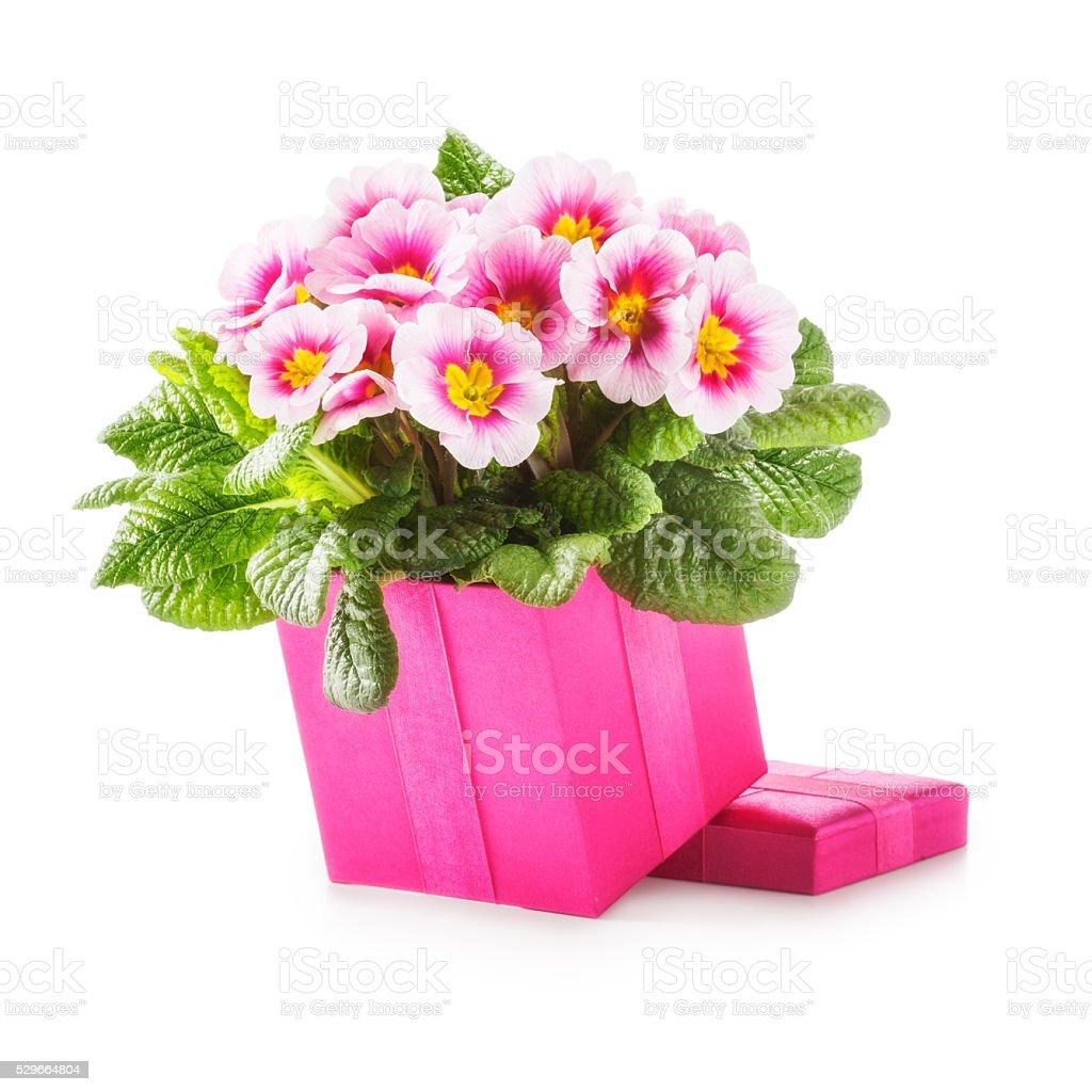 Gift box with primroses stock photo