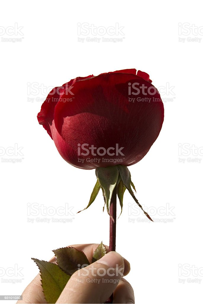 Gift of a rose. royalty-free stock photo