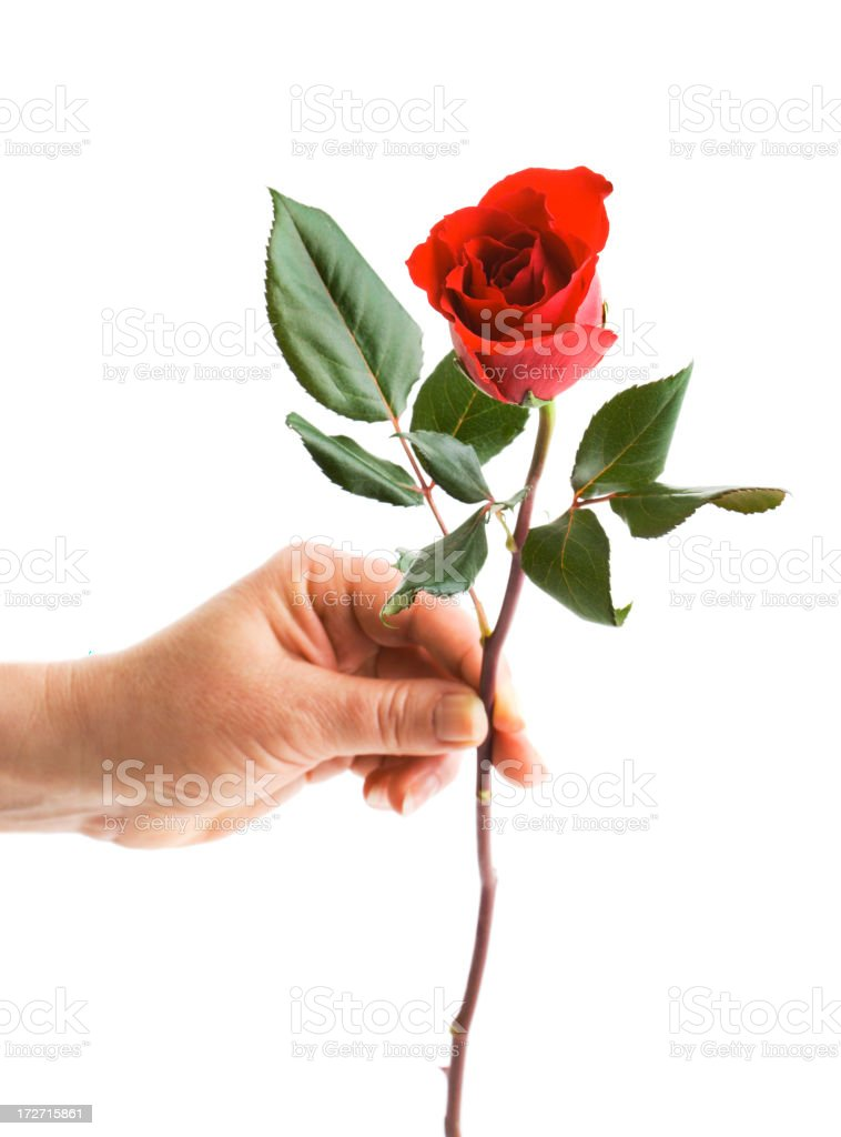 Gift of Rose stock photo