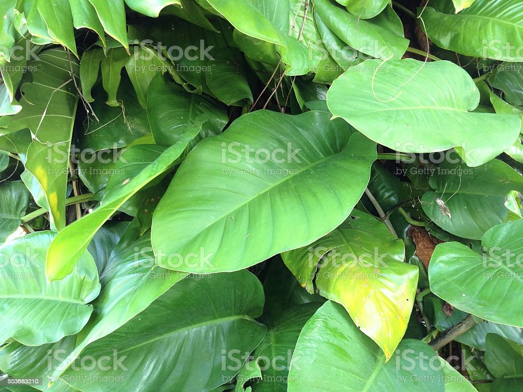 PHILODENDRON giganteum leaves on climbing vine stock photo