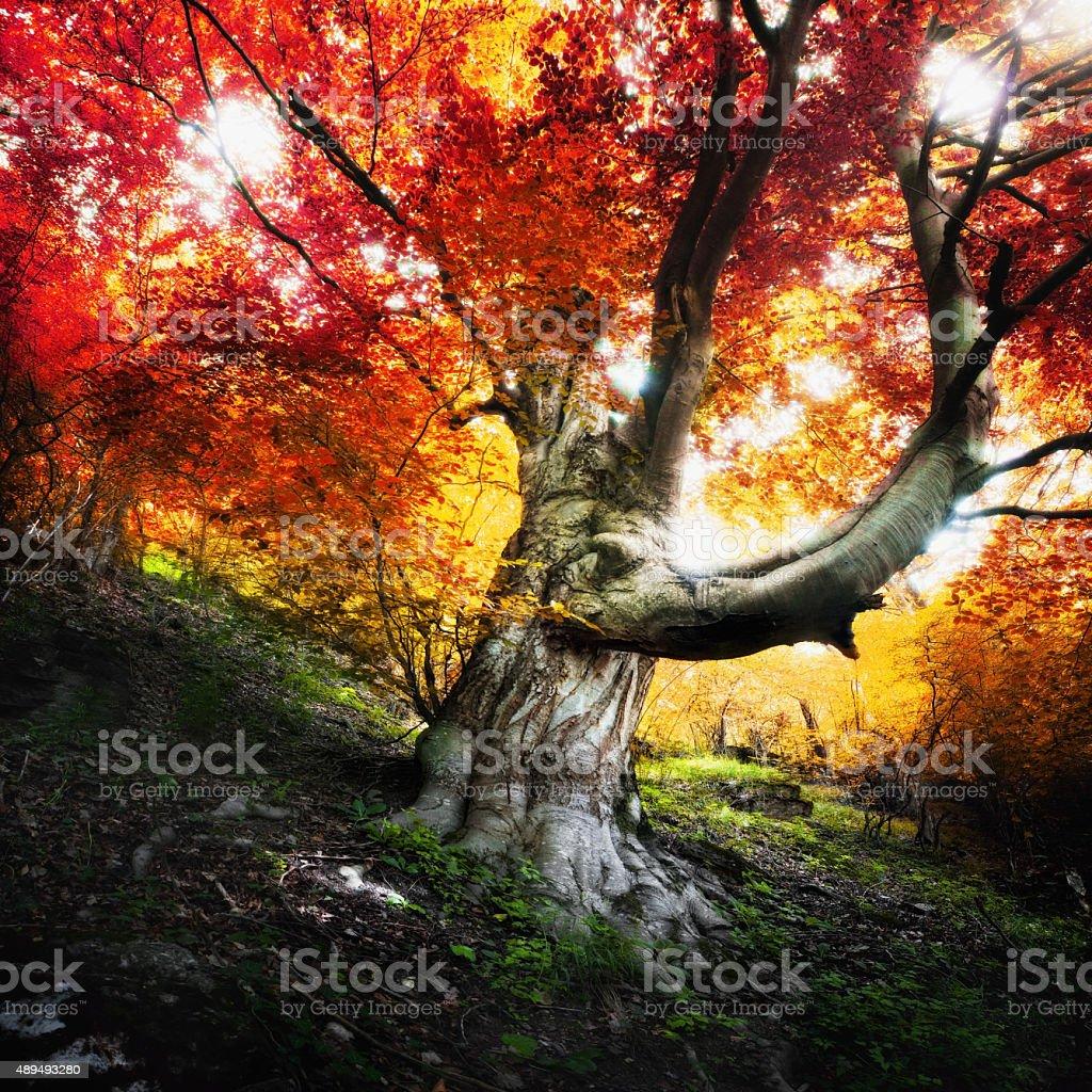 Gigantic Ancient Alder Tree in Autumn Forest stock photo