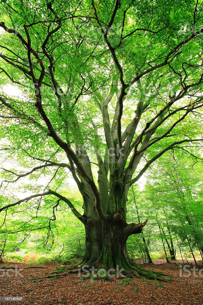 Gigantic Ancient Beech Tree in Spring Forest stock photo