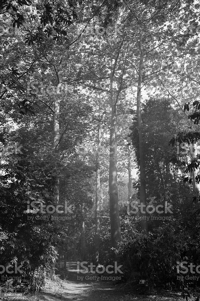 Gigantic kapok trees with little haze from burning leaves stock photo