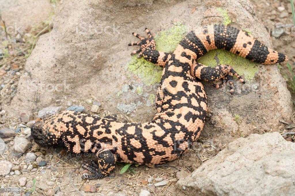 Gila Monster Lizard royalty-free stock photo