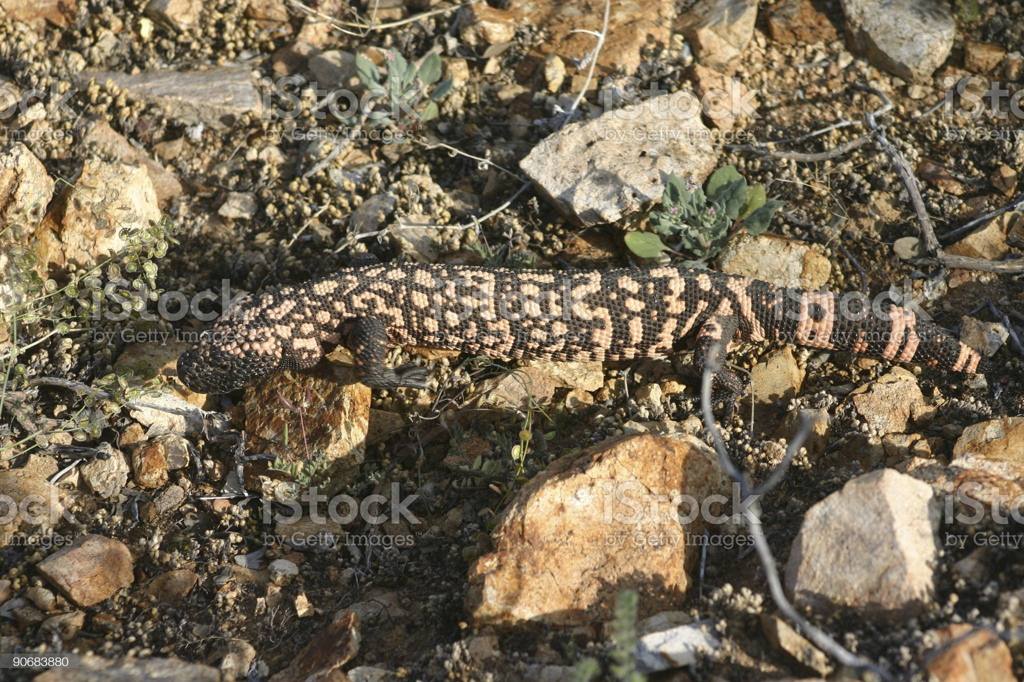 Gila monster royalty-free stock photo