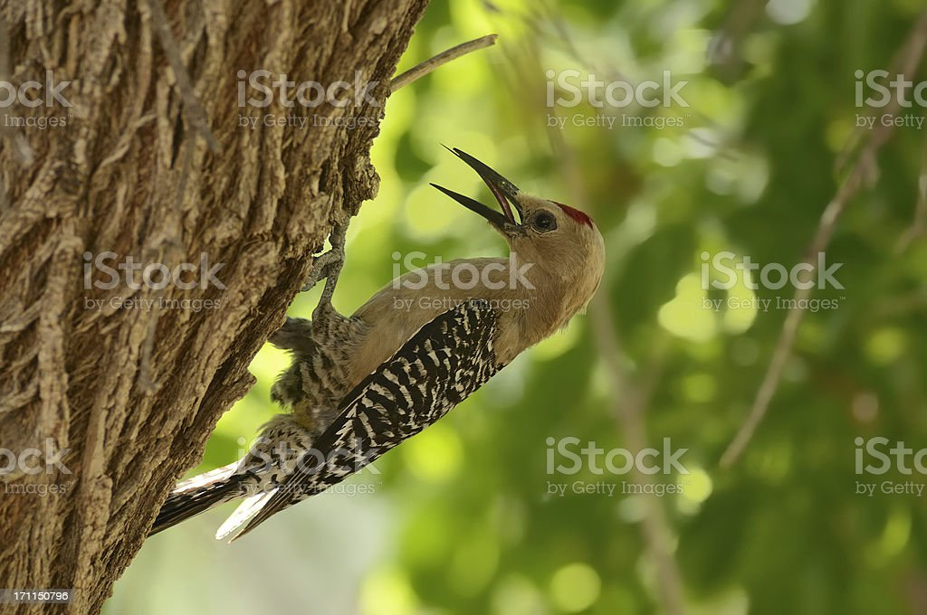 Gila Woodpecker, Melanerpes uropygialis stock photo