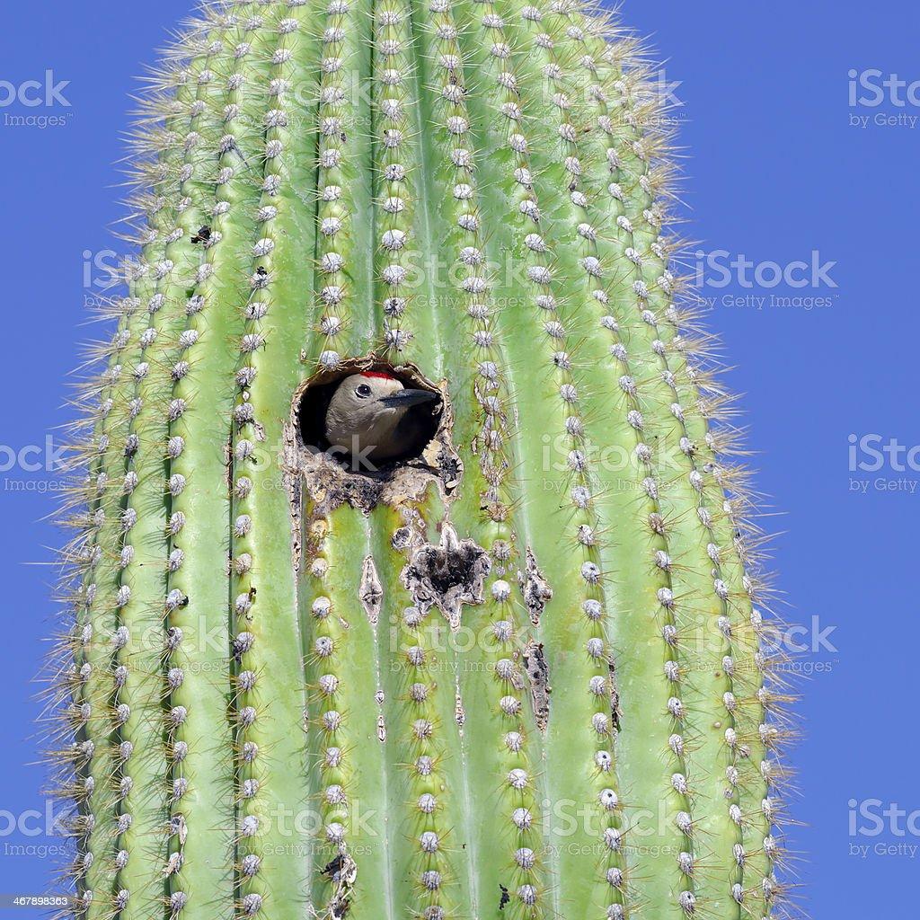 Gila Woodpecker royalty-free stock photo