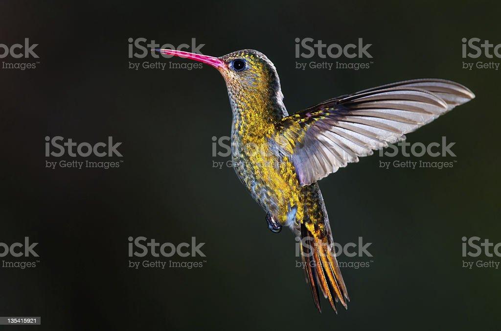 Gilded Hummingbird, (Hylocharis chrysura). royalty-free stock photo