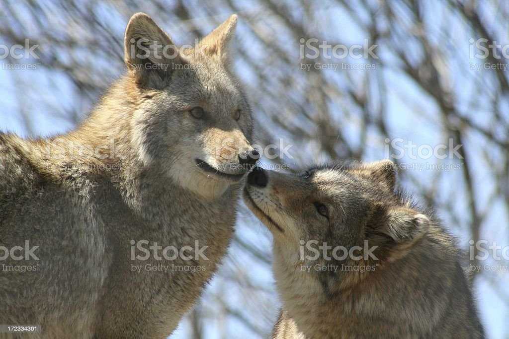 Gimme a kiss royalty-free stock photo