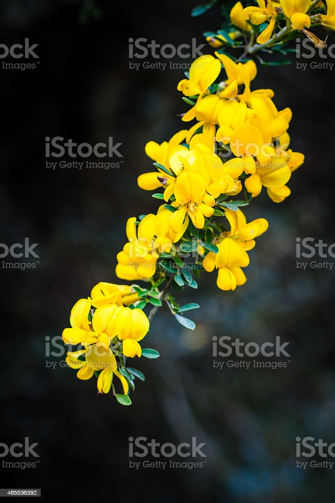 Ginestra Flowers stock photo