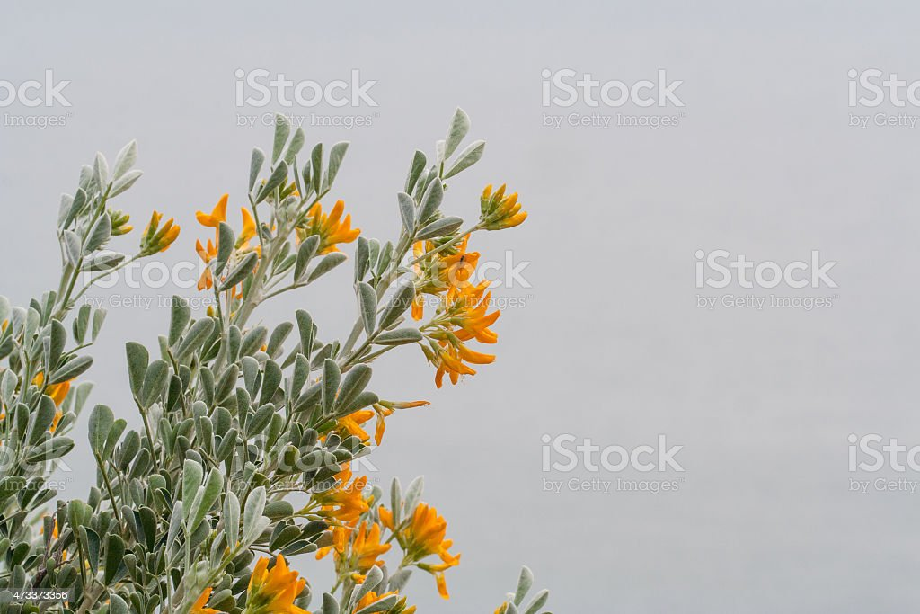 Ginestra Flowers Plant stock photo