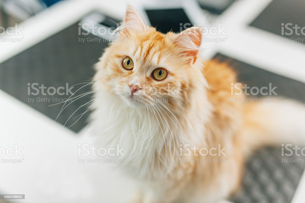 Ginger big catsitting in the kitchen table and looking around. stock photo
