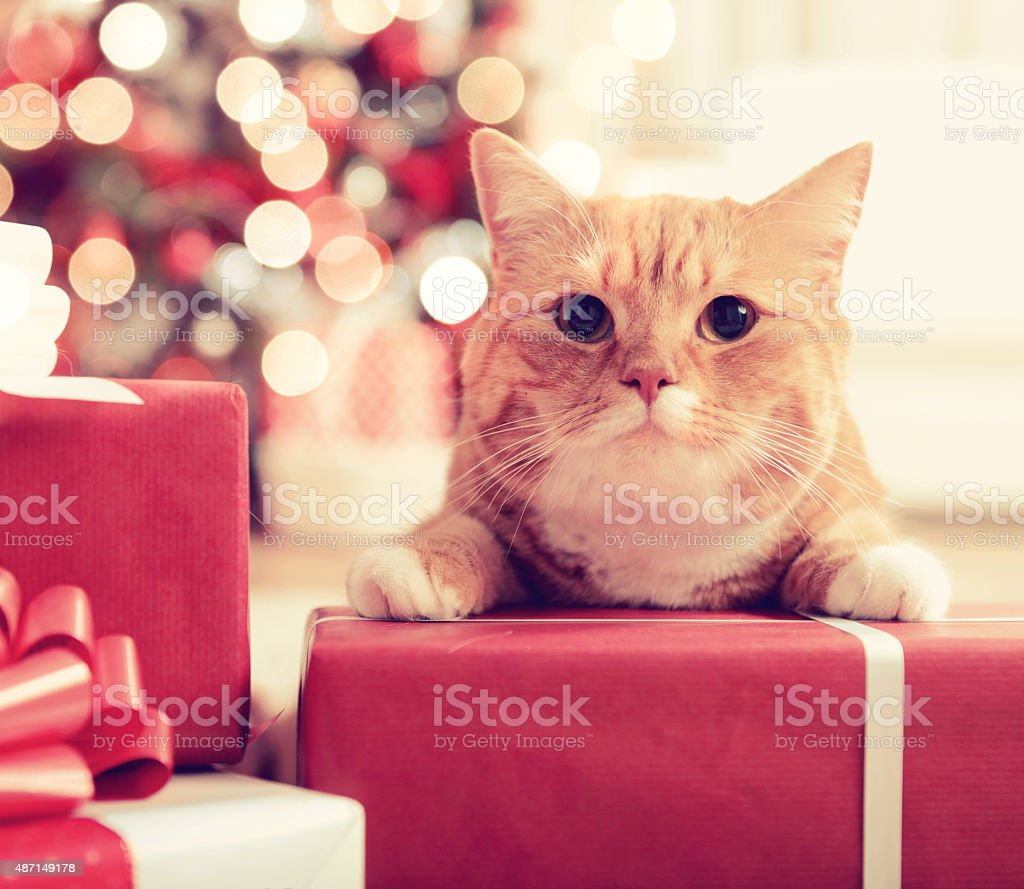 ginger British Shorthair cat in the Christmas interior stock photo