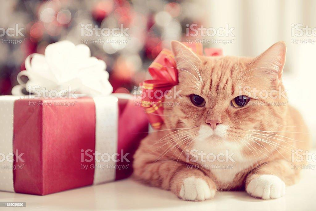 ginger British Shorthair cat in the Christmas interior stock photo