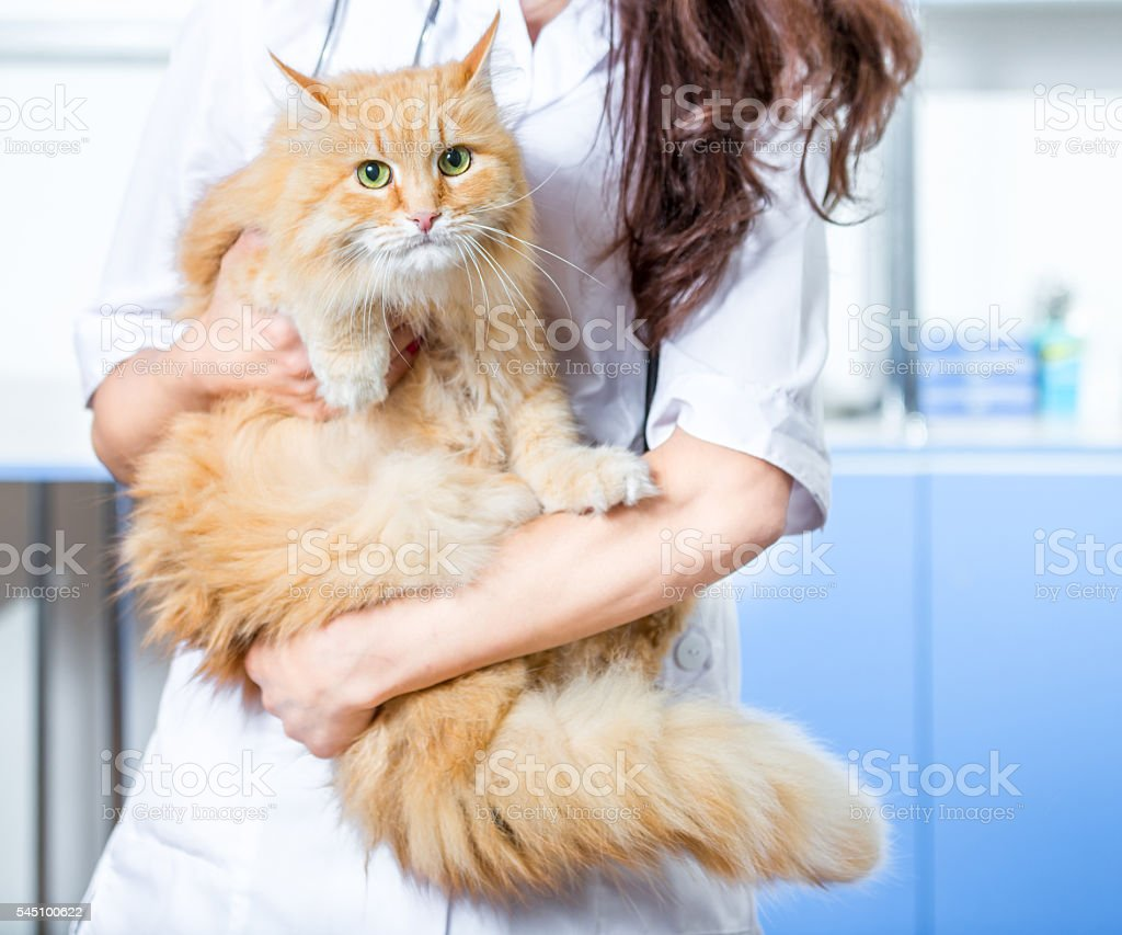 Fluffy red cat with green eyes looking at the camera. Woman...