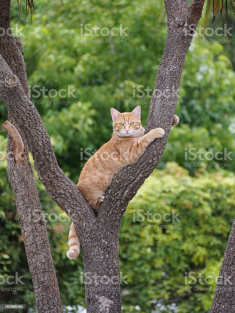 Ginger cat in tree royalty-free stock photo