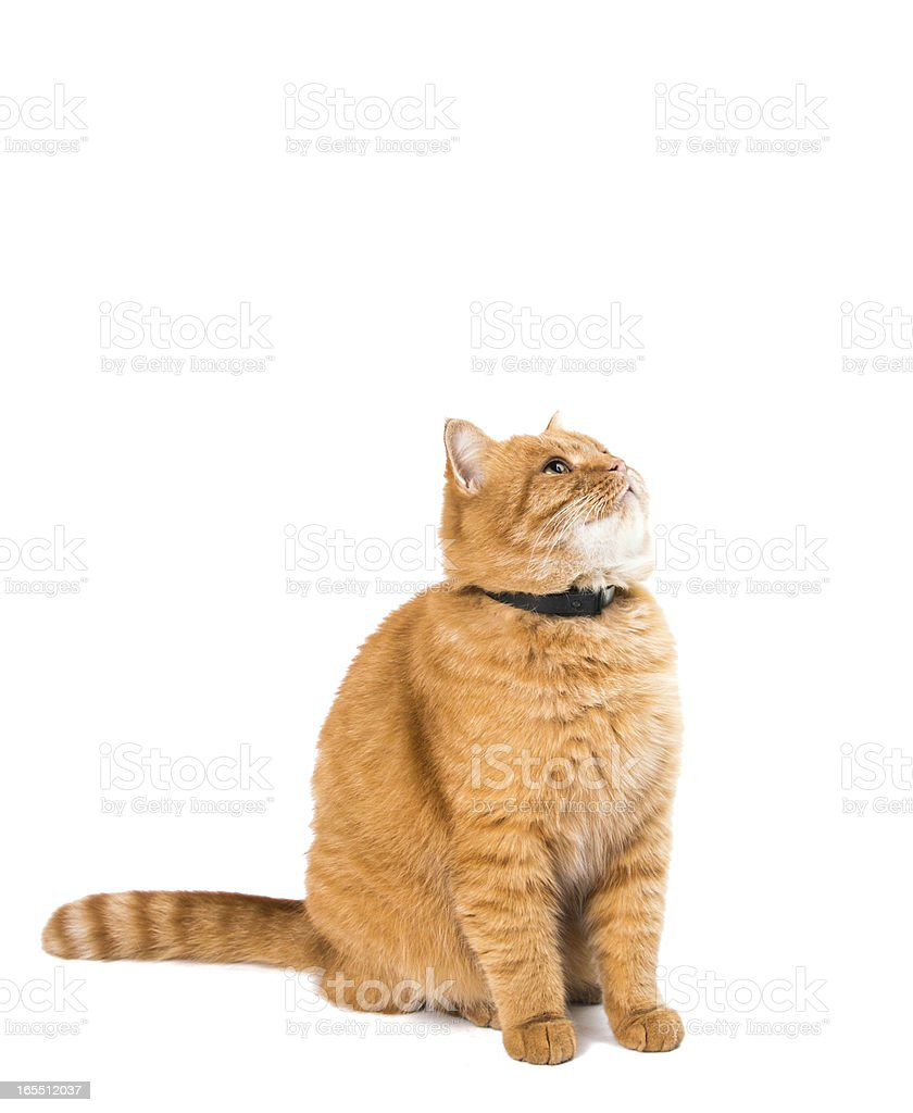 ginger cat isolated royalty-free stock photo