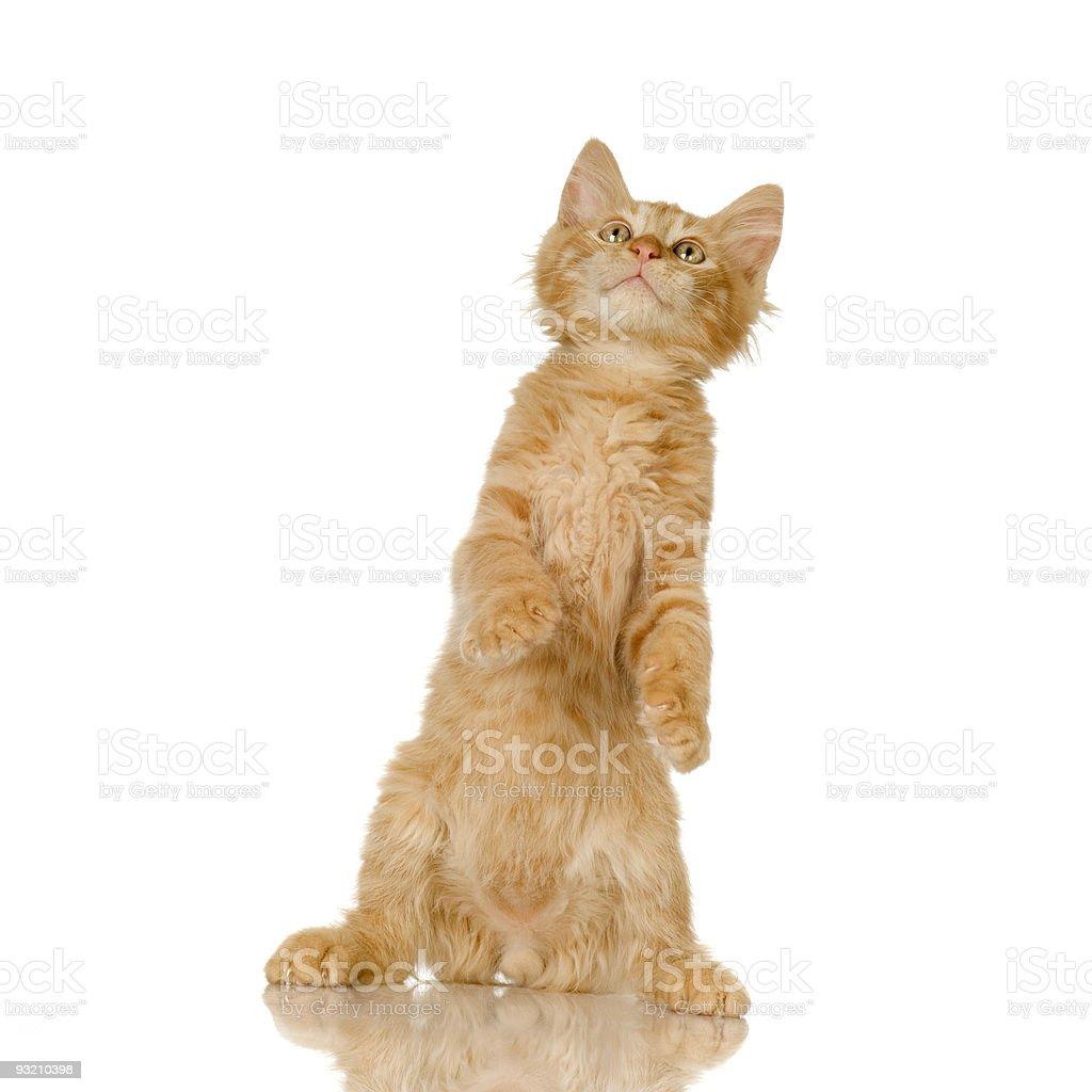 Ginger Cat kitten royalty-free stock photo
