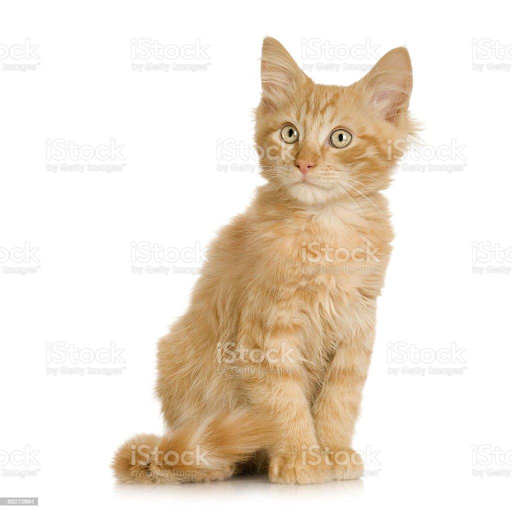 Ginger Cat kitten stock photo