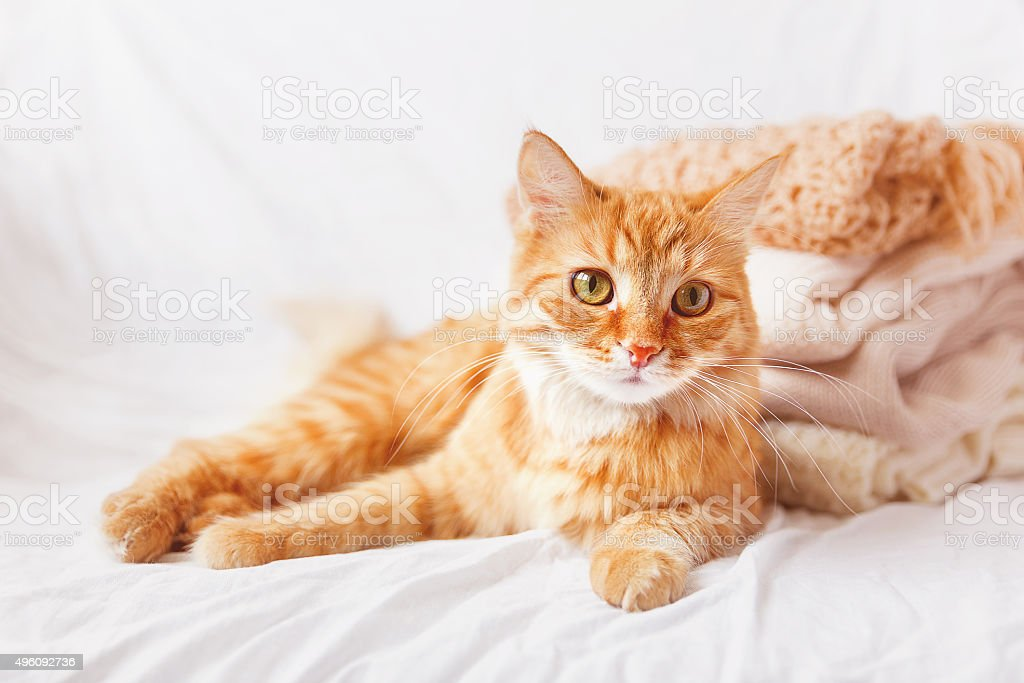 Ginger cat  lies near a pile of beige woolen clothes. stock photo