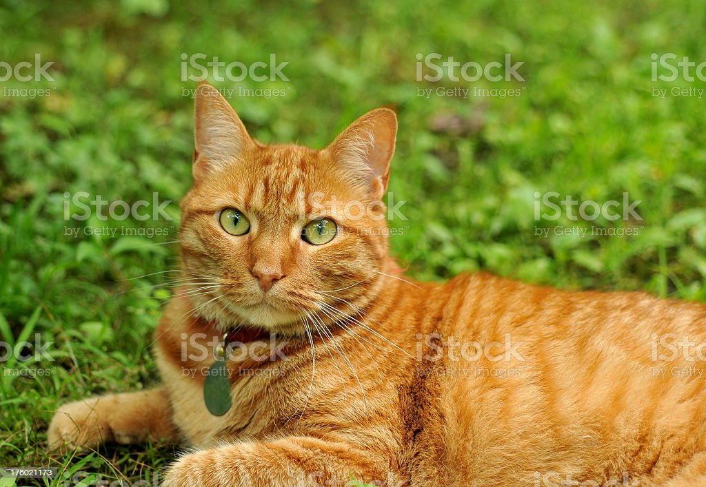 Ginger Cat Looking At Camera stock photo
