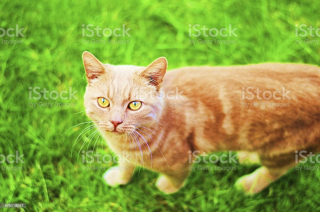 Ginger cat on the grass stock photo