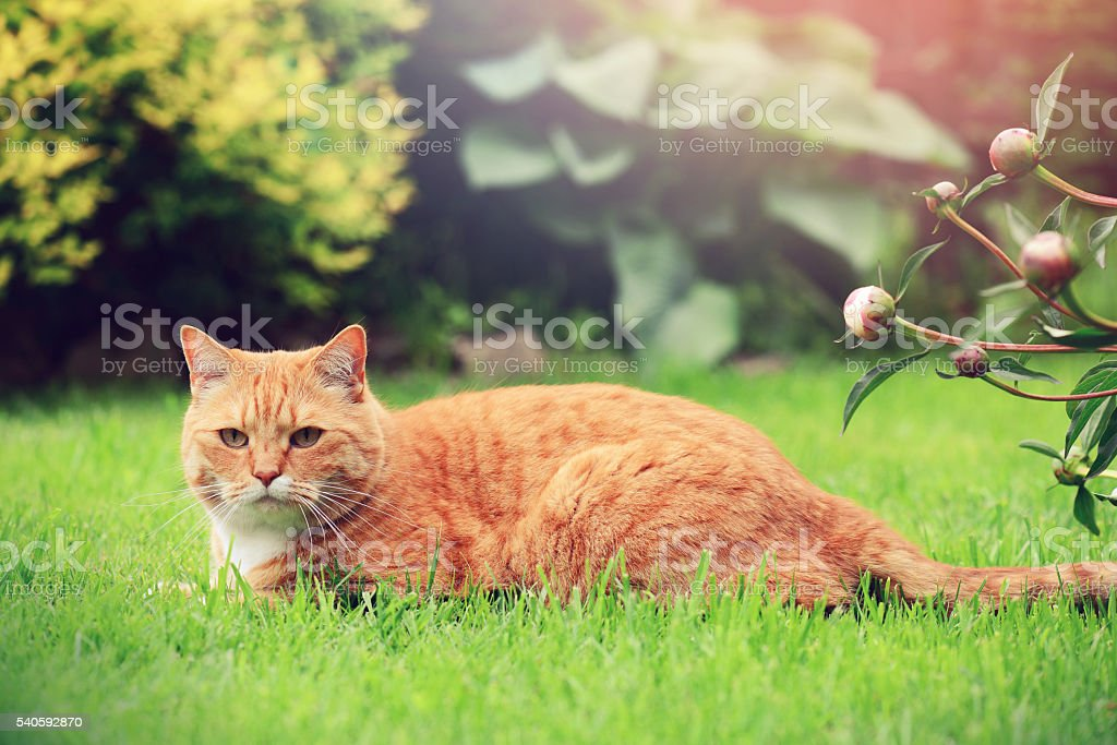 ginger cat on the lawn stock photo