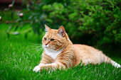 ginger cat on the lawn