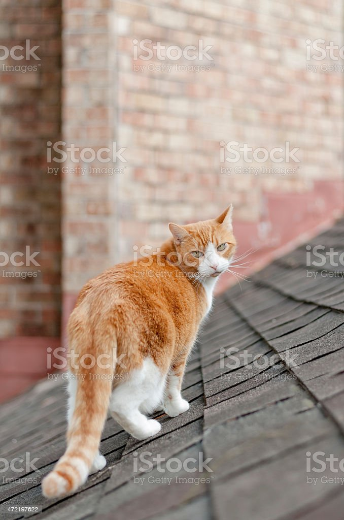 Ginger Cat on the Prowl stock photo