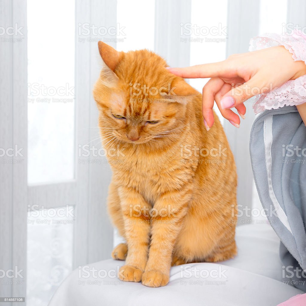 ginger cat pet playing hand stock photo