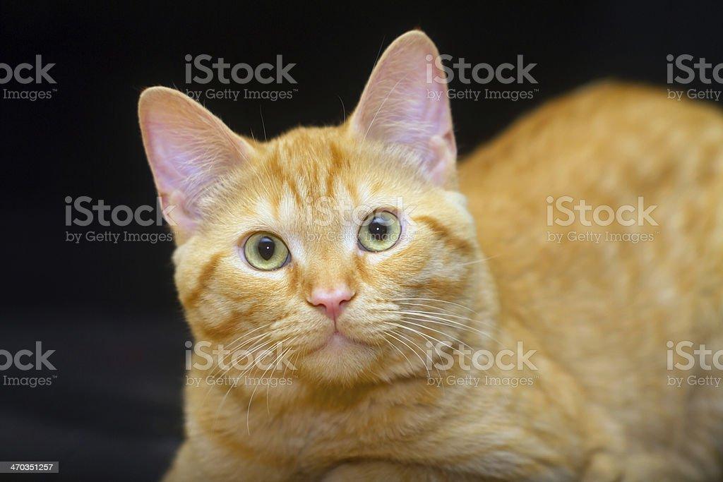Ginger Cat stock photo