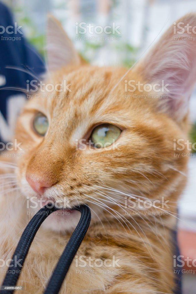 Ginger cat playful kitten stock photo