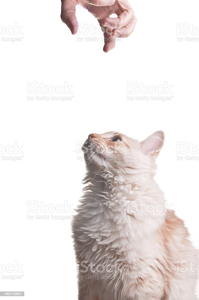 Ginger cat playing with a hand royalty-free stock photo