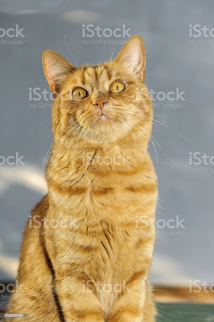 Ginger Cat Portrait Outdoors,evening stock photo