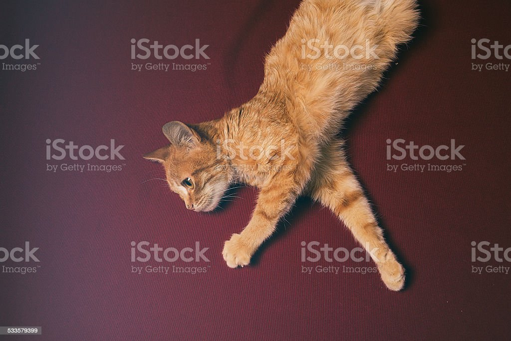 Ginger cat sitting in front of red backdrop stock photo