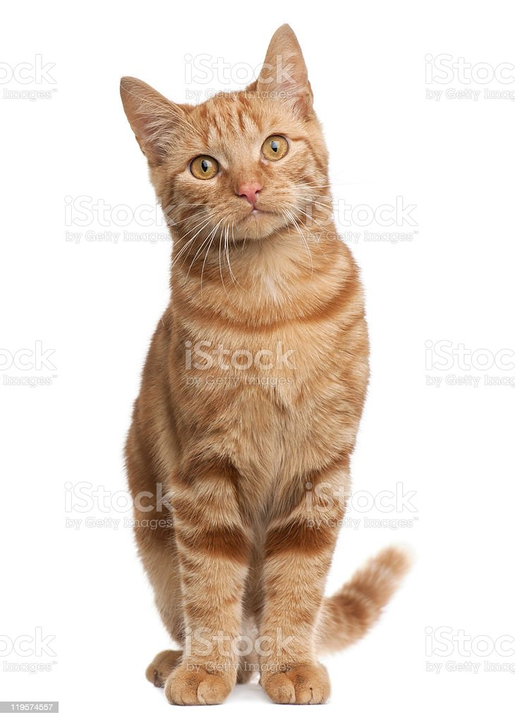 Ginger cat sitting in front of white backdrop stock photo