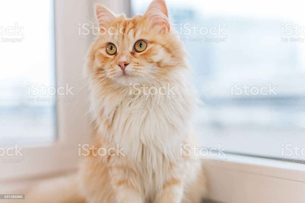 Ginger cat sitting next to the window and looking around. stock photo