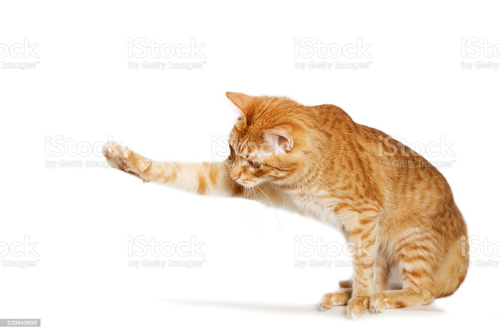Ginger cat stretches out his paw stock photo