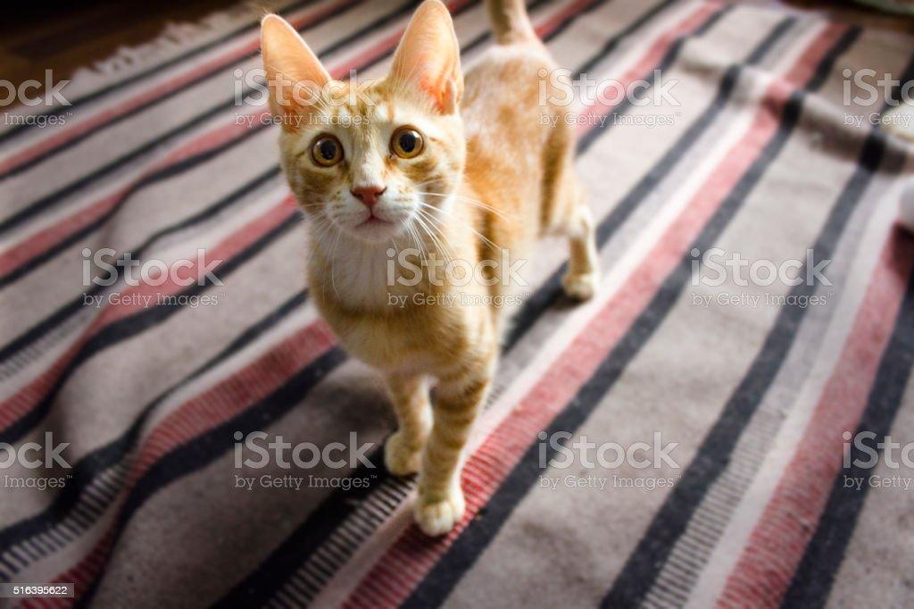 Ginger cat waiting in floor. stock photo