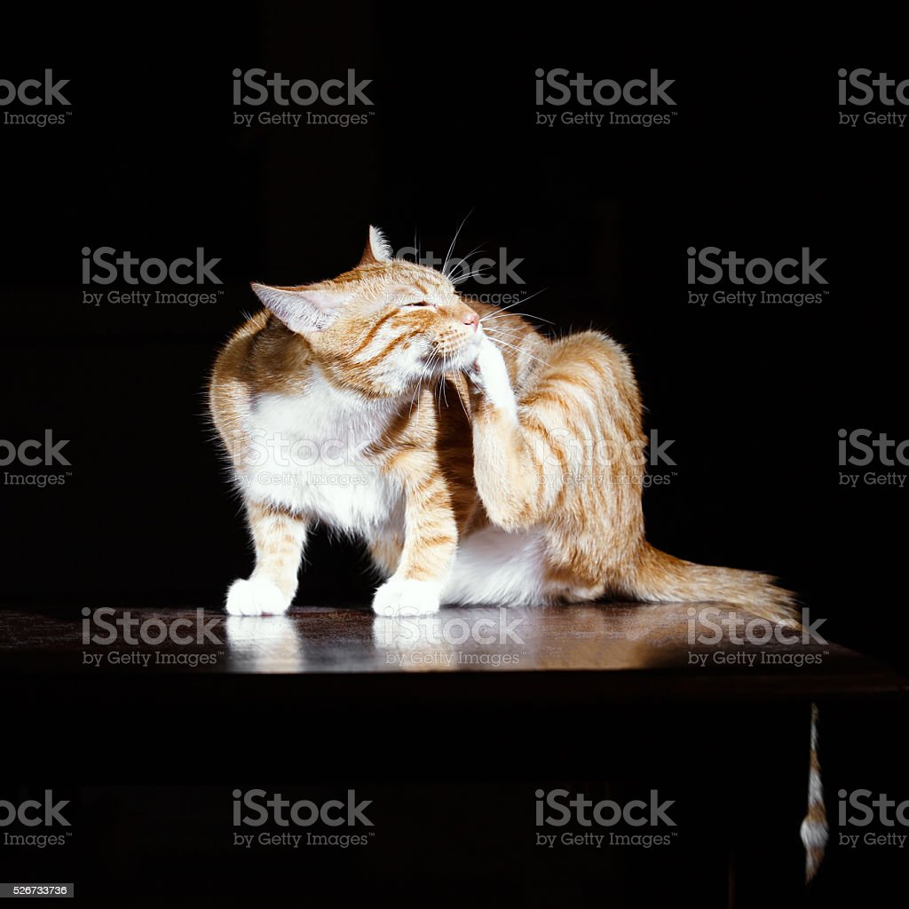 Ginger cat washes on a black background stock photo