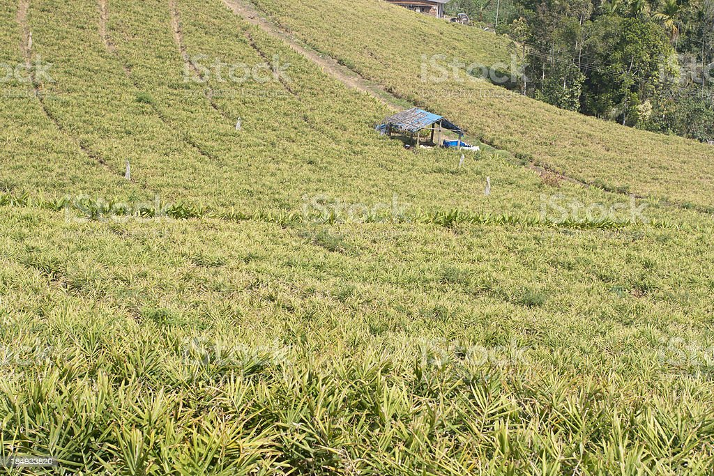 Ginger crop, India stock photo