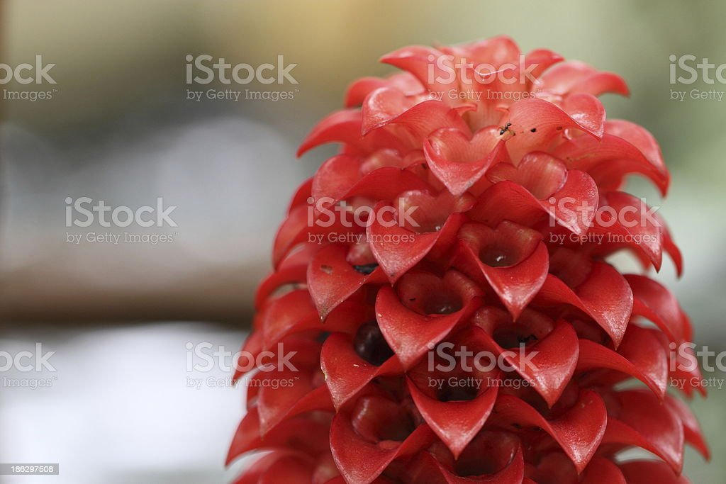 Ginger Flower stock photo