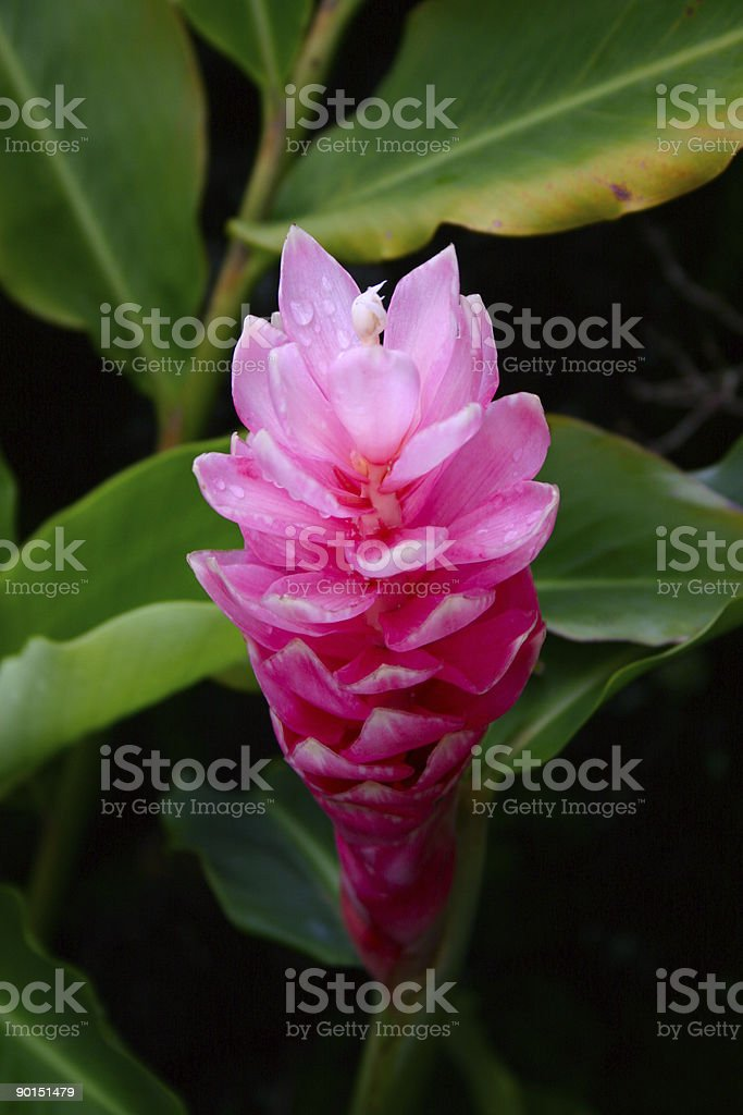 Ginger flower royalty-free stock photo