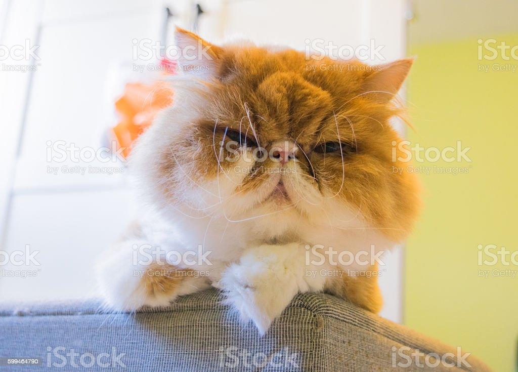 Ginger groomed persian cat, cut hair stock photo