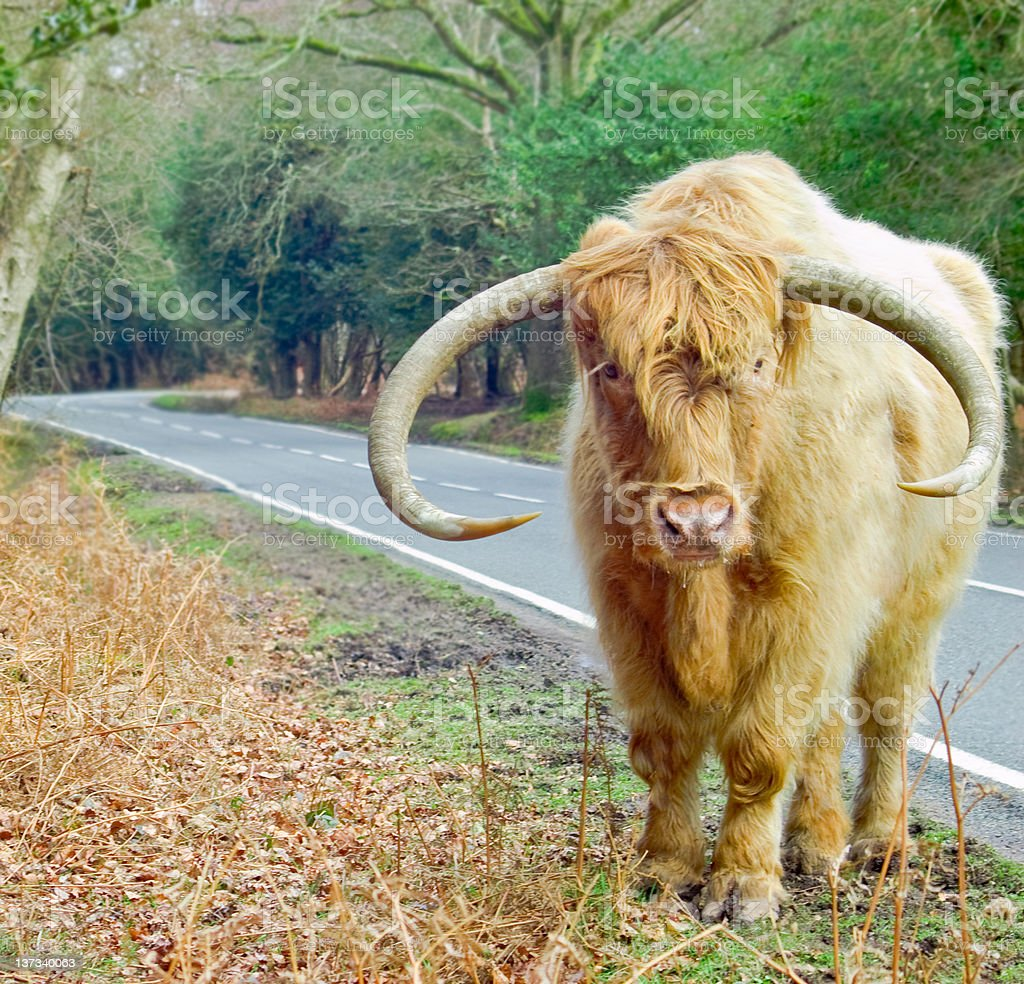 Ginger Highland Cow royalty-free stock photo