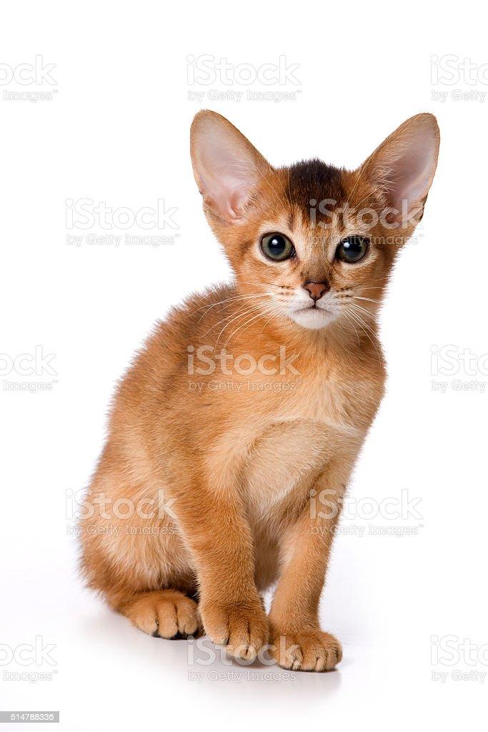 Ginger kitten Abyssinian (isolated on white) stock photo