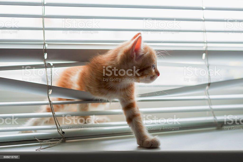 Ginger kitten tangled in window blinds stock photo