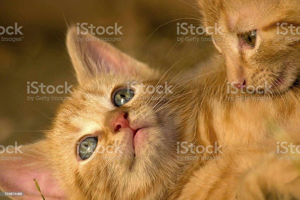 Ginger Kittens royalty-free stock photo